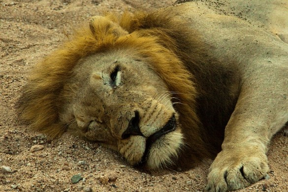 A lion rests in the cool shade in Timbavati private game reserve, South Africa