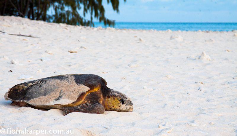 Loggerhead turtle nesting on Lady Musgrave Island
