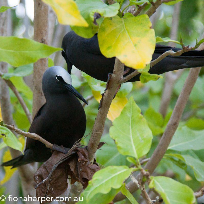 Black noddy in pisonia forest