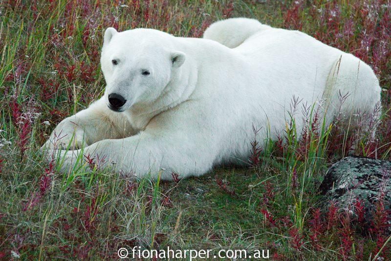 Polar bear, Manitoba Canada