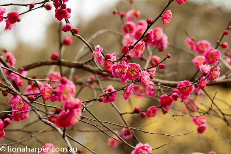 Plum blossom in bloom