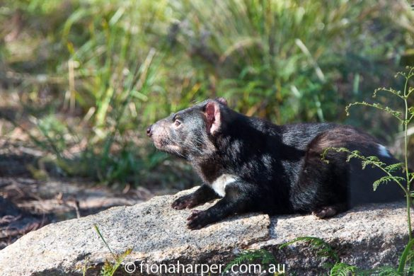 Tasmanian devils at Saffire Freycinet