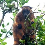 Lumholtz tree kangaroo, Atherton Tablelands | Fiona Harper travel writer