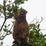 Lumholtz tree kangaroo, Atherton Tablelands   Fiona Harper travel writer