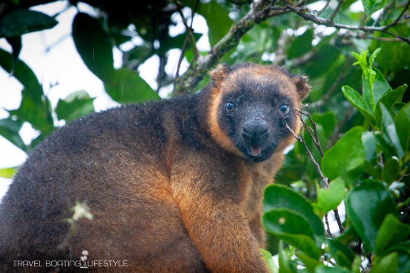 Lumholtz tree kangaroo, Atherton Tablelands | Fiona Harper travel writer