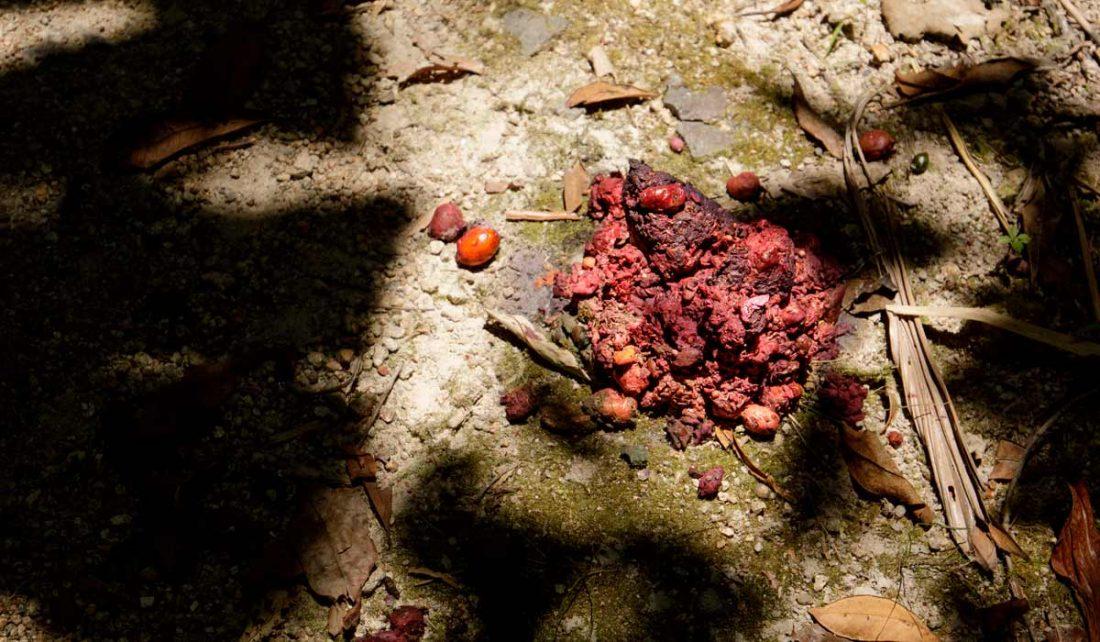 Cassowary dung north Queensland