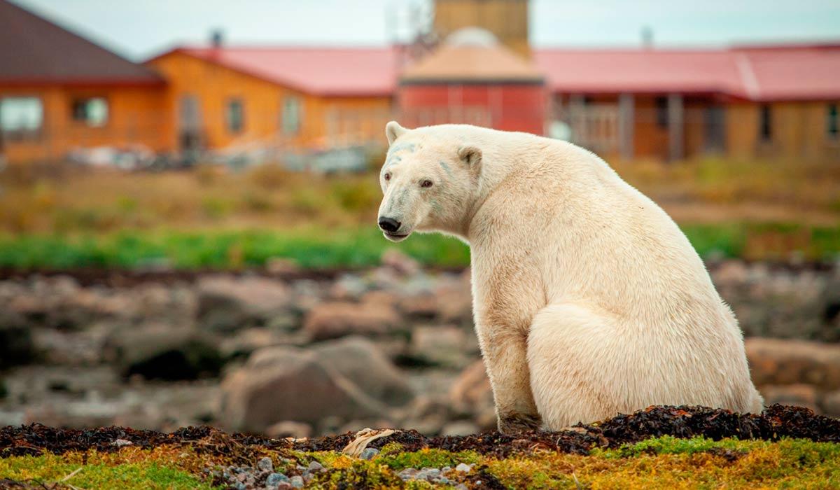 Polar bear outside Seal River odge on Hudson Bay foreshore