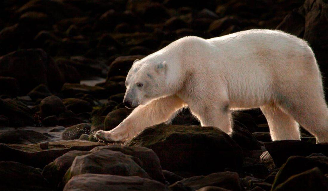 Polar bear strides through a rocky foreshore